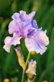 foto of purple iris  - Pale purple bearded iris flower in garden - JPG