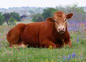Cow Sitting In Field Of Wildflowers