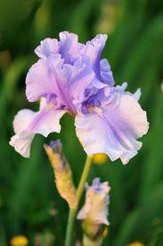 foto of purple iris  - Pale purple bearded iris flower in garden - JPG