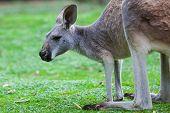 Single Kangaroo