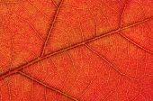 Autumn White Oak Leaf