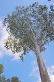 Giant Eucalyptus Tree