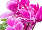 cyclamen pink flower
