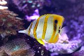 stock photo of butterfly fish  - Beaked Copperband Butterfly coral fish in tropical water