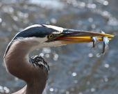 Great Blue Heron with fish in beak