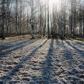 image of birchwood  - The birchwood shined by the morning sun in the spring - JPG