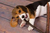 Seven weeks old cute little beagle puppy chewing on a stick