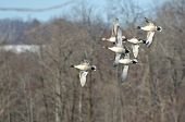 image of pintail  - A Flock of Northern Pintails Flying Over Marsh