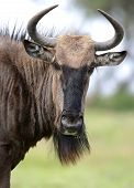 stock photo of antelope horn  - Black wildebeest antelope from Africa with shaggy fur and horns - JPG