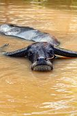 stock photo of wallow  - the domestic buffalo hides in water from a heat - JPG