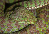 stock photo of snake-head  - Portrait of brown and green poisonous snake closeup - JPG