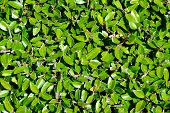 Hedge Leaves Background Landscape