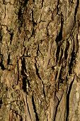 picture of pecan tree  - Pecan Tree Bark Close up for Background - JPG