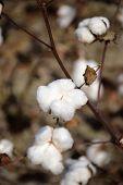 Close Up Of Cotton Boll On The Plant