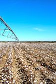 Pivot Over Cotton Field Ready To Harvest