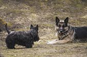 stock photo of scottish terrier  - two dogs playing shepherd dog is in alert scottish terrier not outdoor shot - JPG