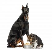 Doberman Pinscher sittingand looking down at a beagle puppy eating