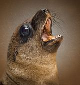 Close-up of a Young California Sea Lion,shouting in front of a vintage background