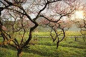 foto of orchard  - peach blossom bloom in an orchard - JPG