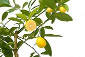 small lemon tree, with lemon cut in half, isolated