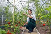 Worker Harvests Tomatoes In The Greenhouse