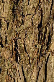 stock photo of pecan tree  - Pecan Tree Bark Close up for Background - JPG