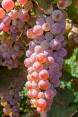 Bunch Of Pink Grapes