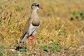 Crowned Plover - African Wild Bird Background - Nature's Princess of Birds