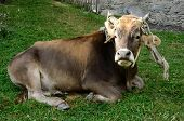 Young Bull Lying On The Green Grass