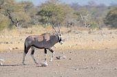 Oryx At Nebrownii