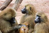 Guinea Baboon Family