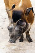Red River Hog Or Bush Pig