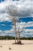Dry tree on sand on background of blue sky.  Australia