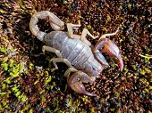 Northern Scorpion - Vejovis boreus
