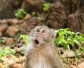 stock photo of macaque  - Portrait of Long tailed Macaque from Thailand