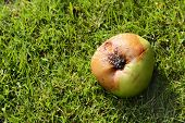 Rotten Windfall Apple
