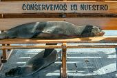 Sea Lion Taking A Nap On A Bench, Galapagos, Ecuador