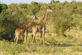 A pair of giraffes