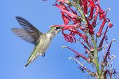 picture of cardinal-bird  - Immature Ruby-throated Hummingbird (archilochus colubris) in flight with red Cardinal flowers and a blue sky background