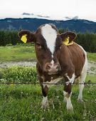 Cow pasture in the mountains
