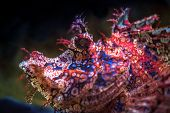 picture of popeye  - the photo exotic fish scorpion fish close up - JPG