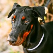 Close Up Black Doberman Dog Outdoor