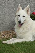 Nice White Swiss Shepherd Dog Lying