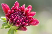 Colorful Dahlia Flower