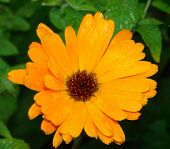 Calendula (marigold). Calendula officinalis, herb, orange flower