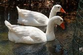stock photo of gadwall  - Two white ducks are resting in the shadow of the branches - JPG