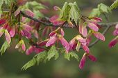 Pink Winged Maple Seed - Acer circinatum