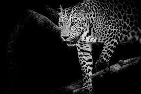 stock photo of animal teeth  - closeup animal Leopard portrait on black background - JPG