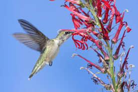 stock photo of cardinal-bird  - Immature Ruby-throated Hummingbird (archilochus colubris) in flight with red Cardinal flowers and a blue sky background ** Note: Slight blurriness, best at smaller sizes - JPG