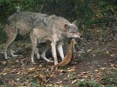 A wolf devouring his share of the hunt.